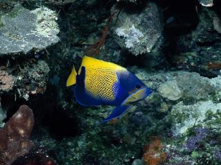 обои Разноцветная рыбка фото