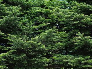 обои Насыщенность зелени еловых веток фото