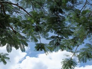обои Ажурные листья дерева на фоне неба фото