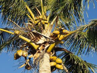 обои Плоды на пальме фото