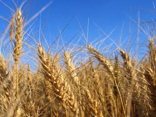 обои Колосья спелой пшеницы фото