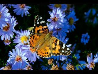 обои Бабочка и хризантемки фото