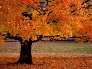 обои Роскошное дерево в осеннем убранстве фото
