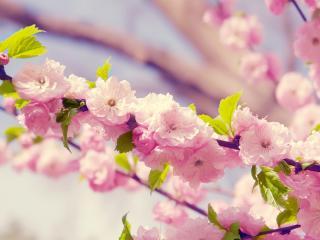 обои Розовые ветки цветущего дерева фото