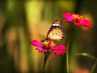 обои Бабочка на красном цветке пьет нектар фото