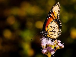 обои Бабочка со сложенными крылишками на цветке фото