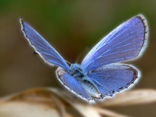 обои Голубая бабочка с мохнатым украшением фото