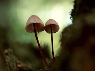 обои Два грибочка у мха фото