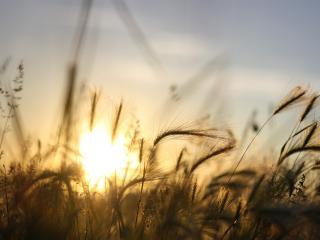 обои Колоски  и  стебельки травы на закате фото