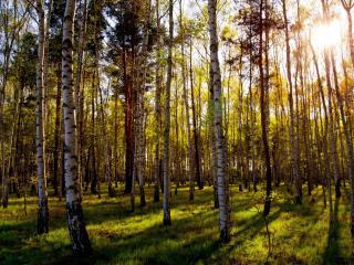 обои Лес березовый с зеленой травой фото