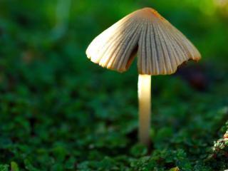 обои для рабочего стола: Зонтик одинокого гриба