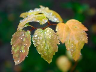 обои Осенняя листва в капельках росы фото