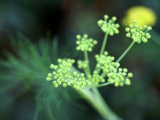 обои Зонтичное цветение у растения фото