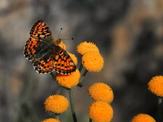 обои Мохнатая,   оранжево-черная бабочка на оранжевых цветах фото