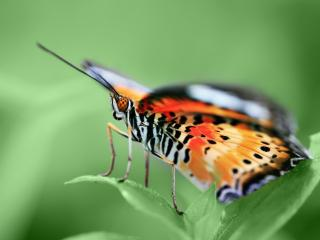обои Пятнистая бабочка на листьях фото