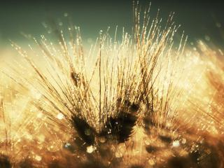 обои Остистая пшеница в утренней росе фото