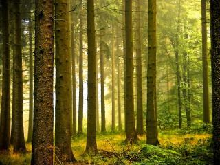 обои Туман в зеленом лесу фото