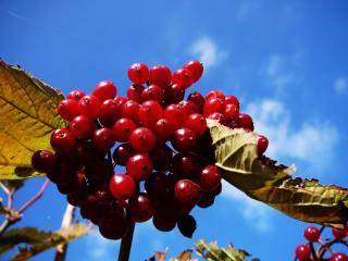 обои Гроздь красных ягод на фоне голубого неба фото