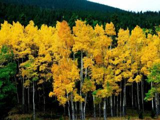 обои Жёлтые осинки фото