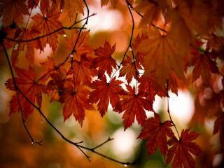 обои Капли на кленовых листьях фото