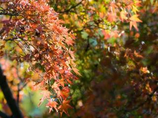 обои Листья кленовые,   листья осенние фото