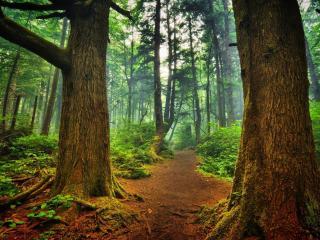 обои Тропа идущая между двумя деревьями фото