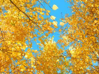 обои для рабочего стола: Желтая листва тополя