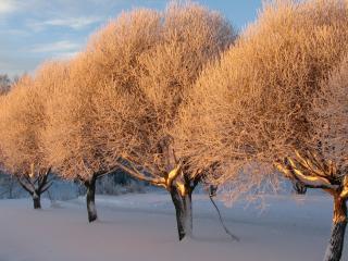 обои Лиловая изморозь деревьев на закате фото