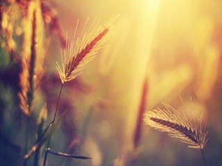 обои Закат на пшеничном поле фото