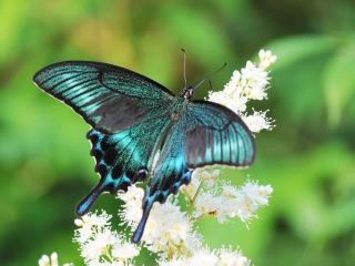 обои Бабочка с бирюзовыми крылышками фото