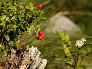 обои Красные ягоды брусники фото