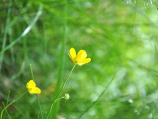обои Дикие желтые цветы в траве фото