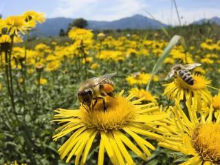 обои Пчелки на желтых цветах фото
