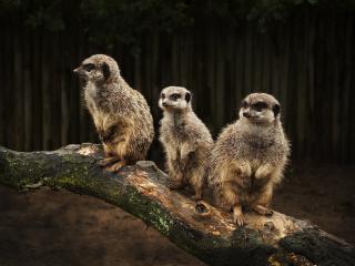 обои Три зверька на стволе сухого дерева фото