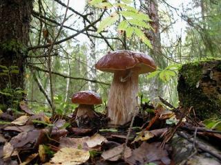 обои Гриб большой и гриб маленький фото