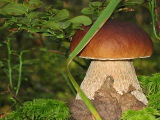 обои Крут и крепок Боровик – гриб-хозяин,   лесовик фото