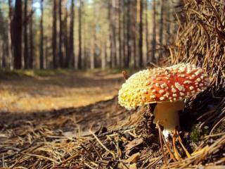 обои Мухомор – красивый гриб,   только очень ядовит фото