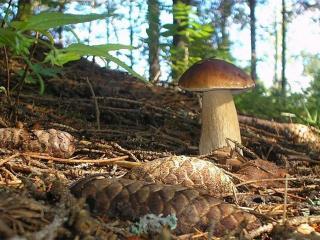 обои Этот – главный гриб в лесу,   в ельник я за ним пойду фото