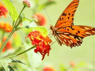 обои Бабочка-красавица,  в ярком,   цветном платьице фото