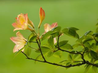 обои На зеленом фоне розово цветущая ветка фото