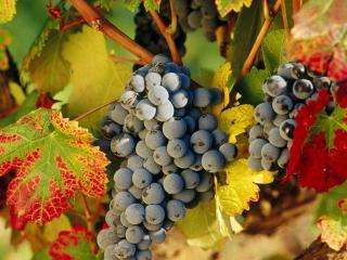 обои для рабочего стола: Осенняя листва и гроздья винограда