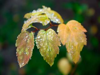 обои По листочкам катится дождь фото