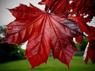обои Кленовый лист красного цвета фото