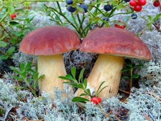 обои Созрели ягоды и выросли грибы фото