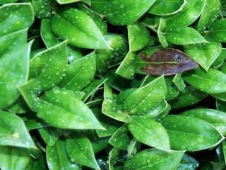 обои Зелень листвы в росе фото