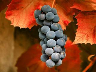 обои Спелая гроздь винограда среди красных листьев фото