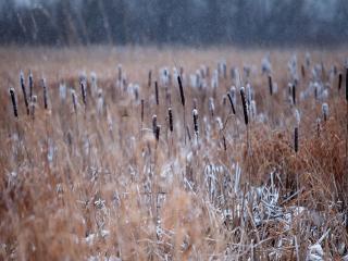 обои для рабочего стола: Камыши встречают первый снег