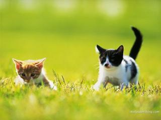 обои Два котёнка на траве фото
