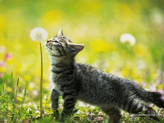 обои Котёнок нюхает одуванчик фото