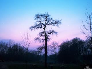 обои Дерево вечером фото